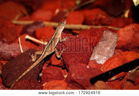 Anolis Rotkehlanolis a smal geko, nature, close-up, USA