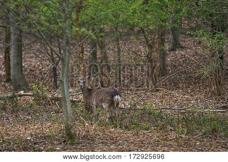 photo of a Sika deer walking in the woods