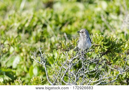 Northern Mockingbird perched in bush along beach
