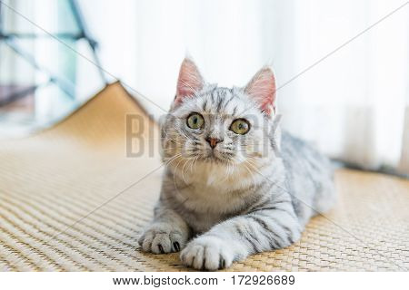 Close up of beautiful light grey tabby cat in home.