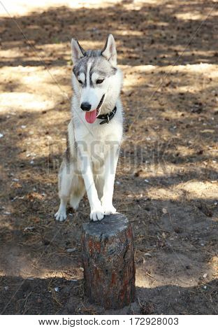 Cute husky on stump in forest