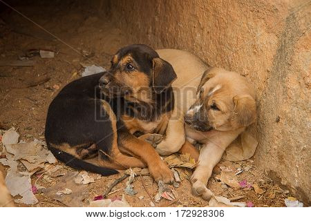 photo of two Indian feral puppies in a drain
