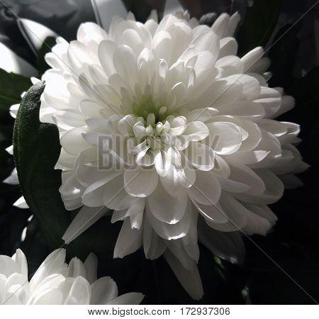 White chrysanthemum flower. Closeup. Sunlight falls on a flower.  Nature.
