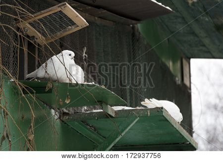 white doves dove bird sitting next to the green dovecote aviary in winter day