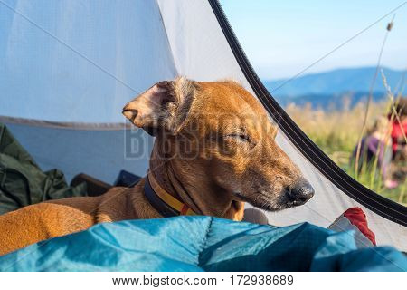 Funny Small Dog Sleeps In The Tent