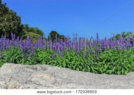 Flower fountain - Blue Salvia flower in the garden