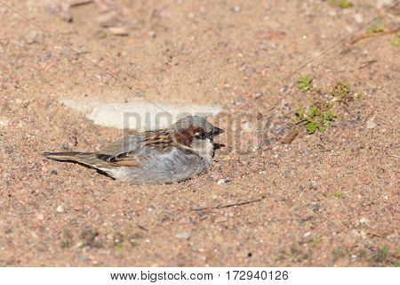 Portrait of a sparrow lying in the sand
