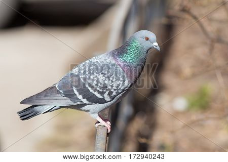 Portrait of a gray pigeon close up