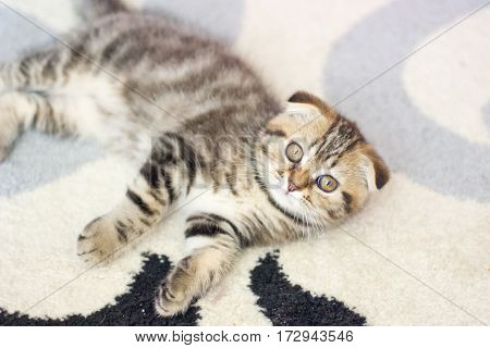 Lop-eared Kitten Plays. Scotland Cat, Kitten. Little Playful Kitten