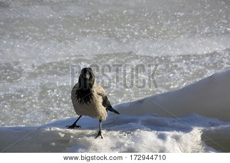 crow Raven bird with gray and black feathers stands in the cold white ice
