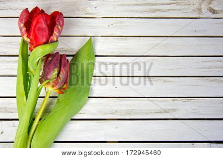 pair of fancy red tulips on whitewashed wood