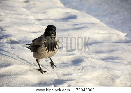 crow Raven bird with gray and black feathers is on the ice winter cold looking