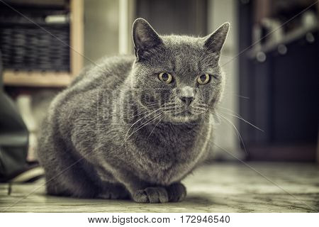 Gray cat sitting on the floor at home and looking to a side. Horizontal indoors shot