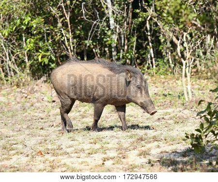 Wild boar Sus scrofa cristalus national park Wilpattu Sri Lanka walking boar