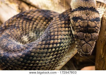 Amethystine python (Morelia amethistina) looking down on head. Large snake in family Pythonidae found in Indonesia Papua New Guinea and Australia