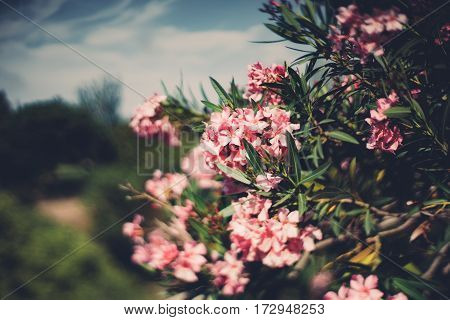 True tilt shift shooting of spring flowers on tree with narrow leaves multiple pink blossoms on shrub shallow depth of field sunny summer day with teal sky