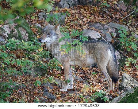 Grey wolf standing in vegetation in its habitat