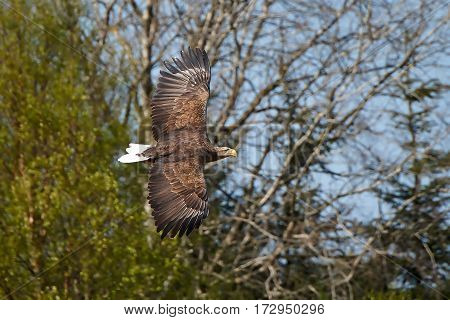White-tailed eagle in flight with vegetation in the background