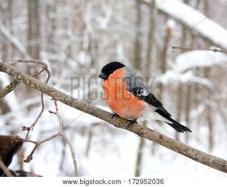 The bullfinch with a red breast sits on a branch