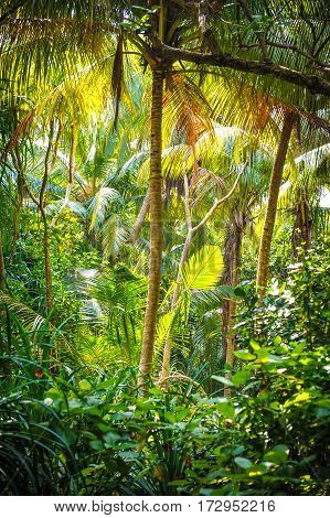 Palm leaves.Tropical Forest on the island in indian ocean.Beautiful landscape of humid tropical jungle .Picture of a tropical forest background