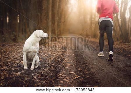 White labrador retriever dog sits and watches a runner passing by