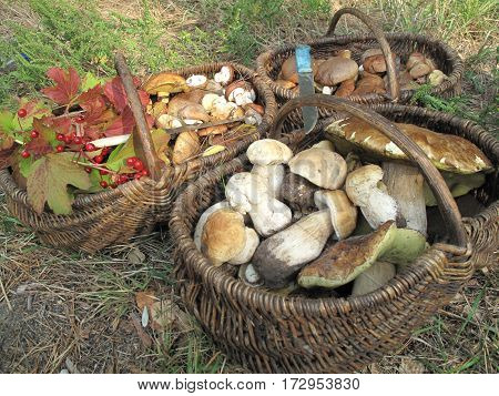Mushrooms. In the Ukrainian forests grows a large amount of mushrooms. These baskets fit a lot of mushrooms: honey fungus, boletus, white. They are all tasty and nutritious.
