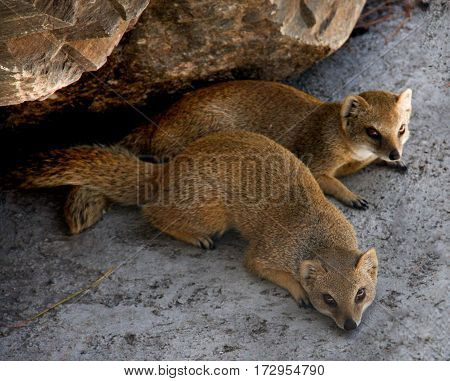 Two meerkat resting and play under a rock.
