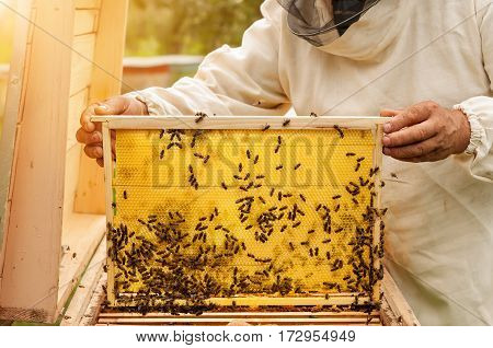 Beekeeper inspects honey comb with bees. Apiculture