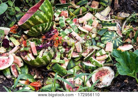 watermelon dump waste in the garden in summer.