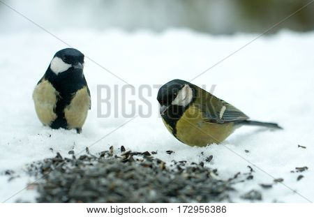titmouse eats sunflower seeds on the snow in the winter.