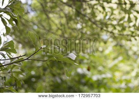 Oak Leaves With Vibrant Green Background
