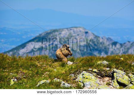 Breakfastet marmot in the mountains Zapadne Tatry