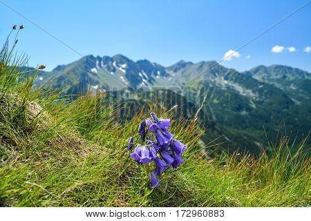 bell flower on the mountain Zapadne Tatry