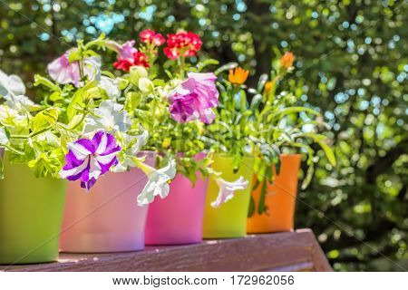 Bright summer flowers in colorful flowerpots backlit on a blurred background of green foliage on a sunny day