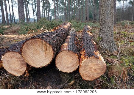 Ends Of Cut Down Pine Trees On The Edge Of A Forest