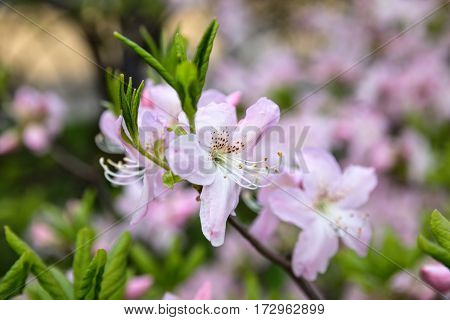 Blooming Rhododendron schlippenbachii (royal azalea) close-up scenic