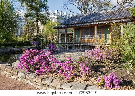 ST. PETERSBURG RUSSIA - MAY 11 2015: Flowering rhododendrons in the St. Petersburg Botanical garden. Fragment of the Japanese garden.
