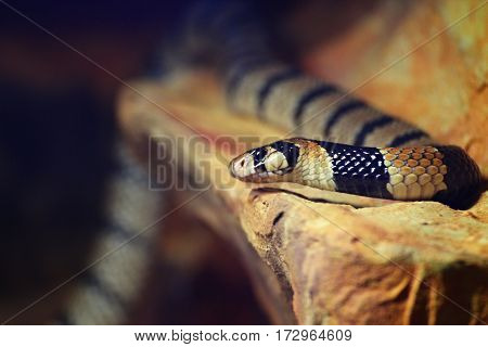 Portrait snake on the stone. Poison little snake from south Arfica.