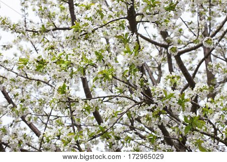 white blooming branch of apple tree in spring