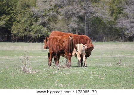 Cows and calf in a green field of grass in the spring.