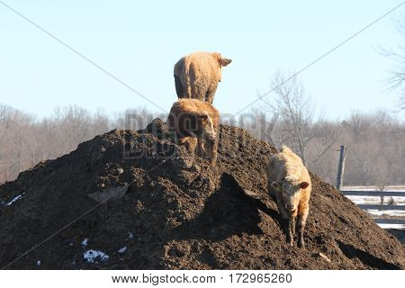 Young cows standing on a mound of dirt/manure.