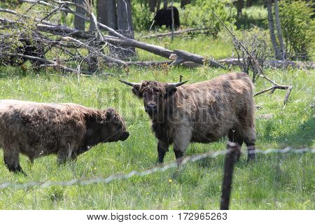 Long haired brown cows in a fenced field  of tall grasses and weeds.