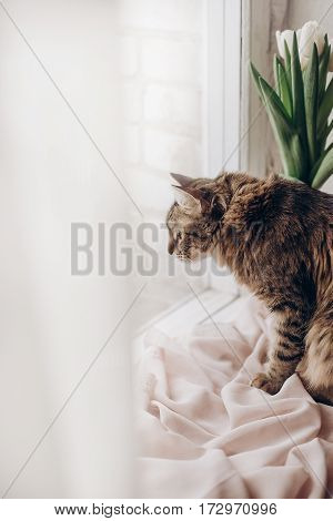 Beautiful Cat Looking With Funny Emotions At Window On Background Of Room With Tulips. Kitty Hunting