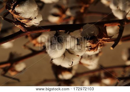 Many Balls Of White Cotton In The Intensive Cultivation Of Cotto