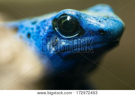 Blue poison dart frog (Dendrobates tinctorius azureus). Head and eyes of amphibian aka blue poison arrow frog native to Suriname in family Dendrobatidae