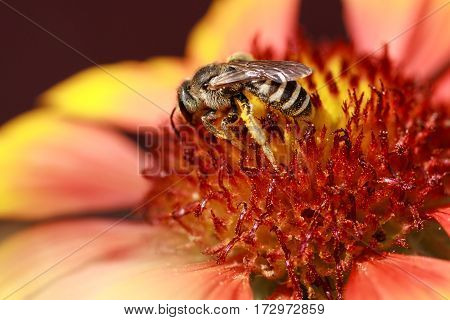 Wild bee flies from flower to flower collecting nectar and pollen. Beautiful yellow rose flower close-up