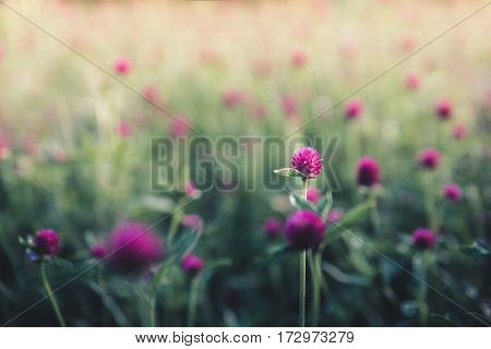 Image of pink blooms in a garden.