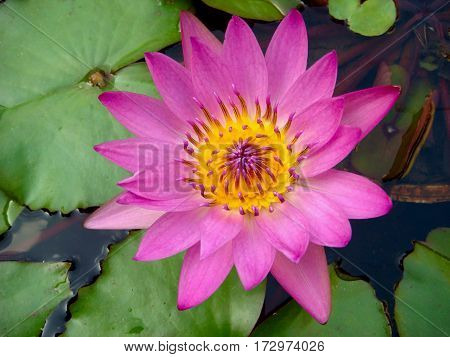 Close-up beautiful tropical purple waterlily, lotus flower, nature background.
