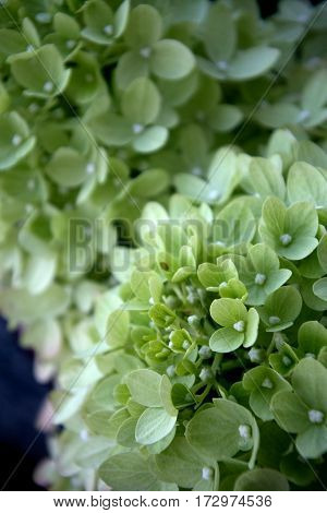 Little Lime Hydrangea close up of full bloom