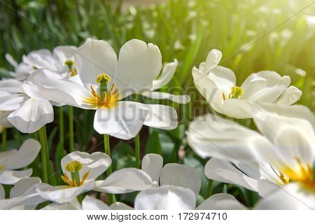 Beautiful white tulips in the spring time.Macro shot.Close-up of closely bundled white tulips.